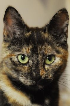 Excellent Cat pics detail are offered on our web pages. look at this and you wont be sorry you did. Pretty Cats, Beautiful Cats, Cute Kittens, Cats And Kittens, Crazy Cats, I Love Cats, Baby Animals, Cute Animals, Suki