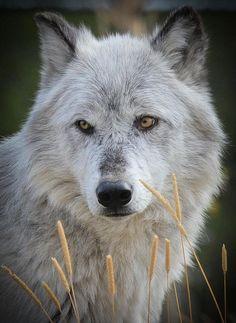 Gorg Wolf Picture, by Athena Mckinzie