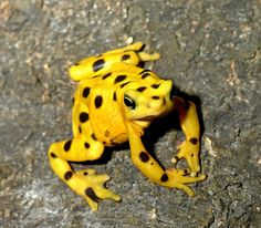 The Panamanian Golden Frog, Atelopus Zeteki, is a critically endangered toad which is endemic to Panama.
