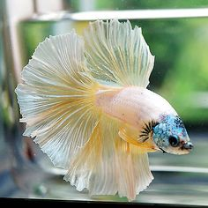 Live Betta Fish Male Fancy Blue Dragon Head Yellow Gold Body Halfmoon HM