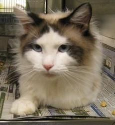 Cosmo is an adoptable Ragdoll Cat in Wichita, KS.  ...