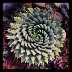 Aloe polyphylla, natures perfect spiral.