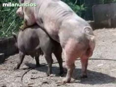 . Tres cerdos, cruce de Ibérico con Blanco Belga. Son 2 hembras, la madre;3 partos es Ibérica y Blanco 50%. La hija de esta, 1 parto, 25% Ibérica,50% blanco Belga, 25% Blanco, es una cerda roja. El macho, 50% Ibérico , 50% rojo salmantino. IMPRESCINDIBLE VE