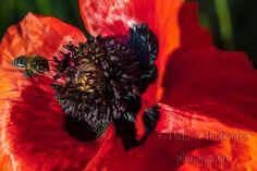 Nature Photography, Poppy Flower Photo, Nature Wall Art, Nature Photo, Flowers Photography, Canvas Prints https://etsy.me/2IBw1ZQ