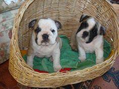 Bull dog inglés (cachorros)