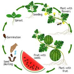 Sweet, juicy homegrown watermelons capture the magic of summer with explosive ta. Watermelon Plant, How To Grow Watermelon, Growing Watermelon From Seed, Permaculture, Montessori Science, Nature Journal, Plant Growth, Life Cycles, Science And Nature