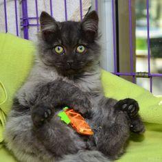 """Look at me.  No caption necessary.""  -- Triton the kitten"