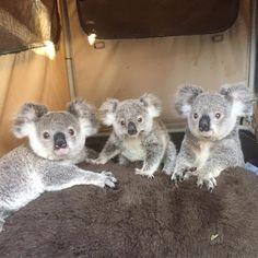😁 you're on cutie camera! Cute Funny Animals, Cute Baby Animals, Animals And Pets, Wild Animals, Koala Marsupial, Australia Animals, Cute Animal Pictures, Animals Beautiful, Fur Babies