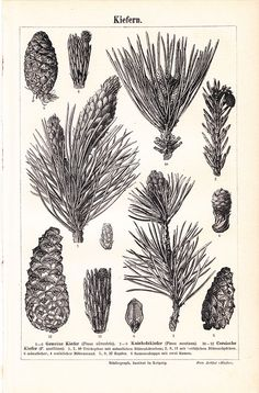 Vintage Botanical Print  Pine Illustration  Free Shipping