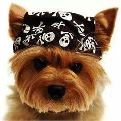.#yorkie with skull bandana