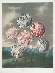 Caldwall, James, engraver. A group of carnations. From: Thornton, Robert John (1765-1832). New illustration of the sexual system of Carolus von Linnaeus: comprehending an elucidation of the several parts of the fructification; a prize dissertation on the sexes of plants; a full explanation of the classes, and orders, of the sexual system... 1807.