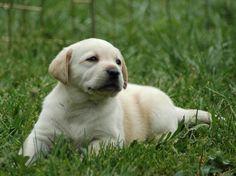 Inspiring White Labrador Puppy Pictures