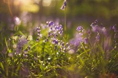 #bluebells #woodland #spring #prints #artist #art #giclee