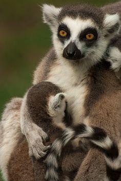 baby lemur and mom