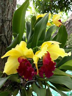 Shade Garden Flowers And Decor Ideas Cattleya Hbrida Unusual Flowers, Beautiful Flowers Garden, Amazing Flowers, Pretty Flowers, Colorful Flowers, Orchids Garden, Orchid Plants, Orchid Leaves, Cattleya Orchid