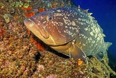 The Dusky Grouper, or Merou is the best known grouper of the Mediterranean Sea and North Africa coast. Merida, Silence Film, Flora Marina, Jacques Yves Cousteau, All About Water, Habitat Destruction, Marine Ecosystem, Marine Reserves, Movies
