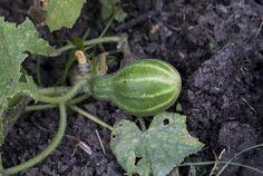 Secrete ale cultivarii castravetilor in gradina bio - magazinul de acasă Watermelon, Solar, Home And Garden, Pumpkin, Flowers, Gardening, Vegetable Gardening, Agriculture, Lawn And Garden