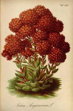 Rosularia sempervivoides (Fischer ex M. Bieberstein). Gartenflora [E. von Regel], vol. 33: t. 1155 (1884) 717 x 1080
