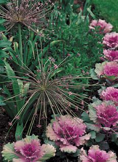 allium and ornamental kale