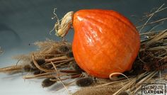 Winter Squash Red October  Cucurbita maxima Vibrantly colored, red-orange fruit that is both edible and ornamental.