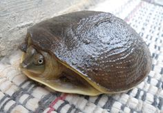 Indian Flap-shell Turtle - photo from tailandfur;  This turtle is known for its man folds of skin that cover its limbs when it enters the shell. This turtle is an omnivore - eating many things, including frogs, fish, flowers, and fruit.