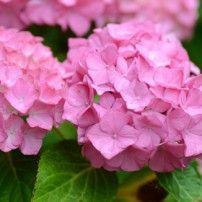 Les créations : L'Hortensia Rose Les élixirs floraux de Flora   La pharmacie du Coeur