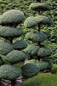 Poodled Dwarf Alberta Spruce (Picea glauca)