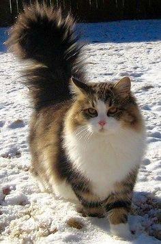 Siberian cat.