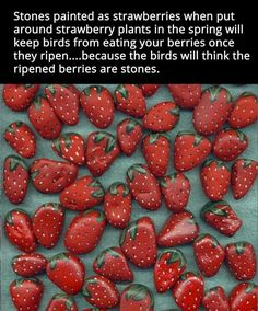 Strawberry rocks to keep birds away from your plants