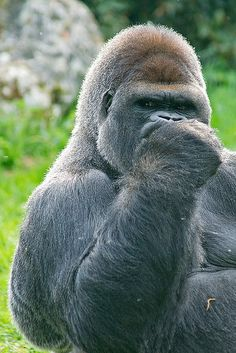 gorilla -- Oh yeah? Say that again to my face. Primates, Cute Funny Animals, Funny Animal Pictures, Animals And Pets, Baby Animals, Gorillas In The Mist, Silverback Gorilla, Mountain Gorilla, Exotic Pets