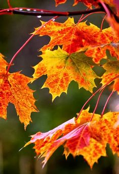 Autumn leaves of red, gold and green