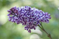 Lilac - Descanso Gardens 4.17.11