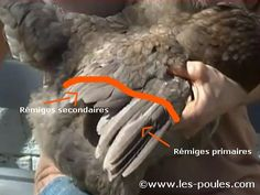Nos explications détaillées pour couper l'aile de votre poule ou de votre coq. Cette opération sans douleur permettra de garder votre poule en sécurité dans son enclos.