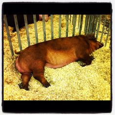 I think these bars make my butt look big.  (Duroc pig-Houston Rodeo '12)