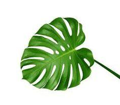 9. Monstera deliciosa - Gatenplant