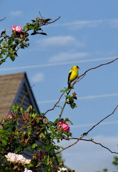 Goldfinch on rose branch...