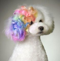 What spray can attain dog groomers use? (paid link) Want additional info? Click on the image. #DogCareGuide #PuppyGrooming Dog Grooming Styles, Dog Grooming Shop, Poodle Grooming, Grooming Salon, Dog Hair Dye, Dog Dye, Small Dog House, Poodle Haircut, Poodle Hairstyles