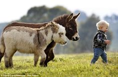 Miniature donkeys snuggle Pot and Cuddle Pie trot after their 15-month-old friend Jack Johnson