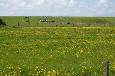 Kühe am Deich auf der Tour de Fries im Landkreis Friesland.