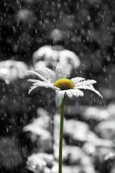 The daisy and rain
