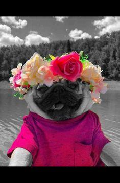 Pugs, Desserts, Color, Tailgate Desserts, Deserts, Pug Dogs, Colour, Pug, Dessert