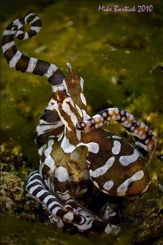 The Wonderpus octopus, Wunderpus photogenicus, a newly described species of octopus, is an amazingly beautiful species of octopus...