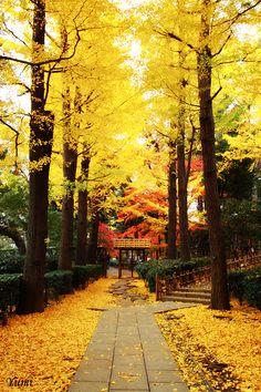 Golden road - Autumn in Otaguro park , Tokyo, Japan