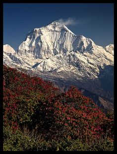 Dhaulagiri I and rhododendrons