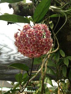 Hoya Carnosa or wax flower