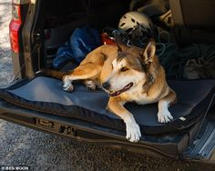 Taking in the sights: Denali is pictured lazing in the back of the van during a road trip ...