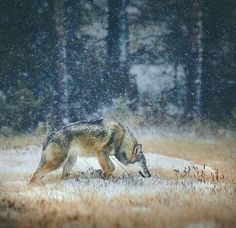 Wolf on the cold