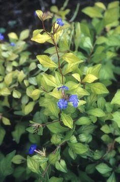 Ceratostigma willmottianum 'Palmgold' (Desert Skies Perennial Blue Plumbago)