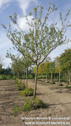 Voor karakteristieke oude fruitbomen, notenbomen en laan- en sierbomen bent u bij ons aan het goede adres! We hebben oa prachtige oude pruimenbomen beschikbaar!