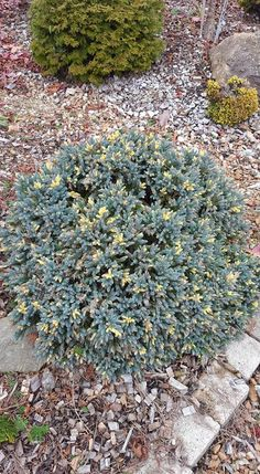 Johann Muster-foto......    Juniperus squamata Floreant Juniperus Squamata, Land Scape, Home Projects, Stepping Stones, Garden, Outdoor Decor, Plants, Stair Risers, Garten